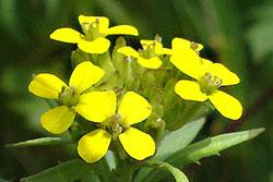 ERÍSIMO (Erysimum officinalis L.)